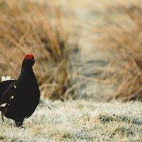 Blackcock
