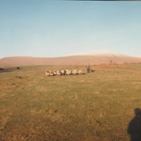 Sheep on Knockgray
