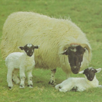 RMC_5 - Postcard of Blackface sheep ..pdf